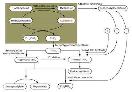 Role of Estimation of Serum Ferritin, Vitamin B12 and Folic Acid in Management of Beta Thalassemic Children